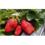 שובר לקטיף תותים בתותלאנד, משק טל, הוד השרו